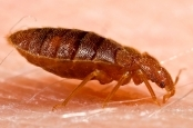 The Bed Bug Problem Streaming Video on Demand English